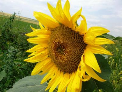 SUNFLOWER HYBRIDS EURALIS- Clearfield
