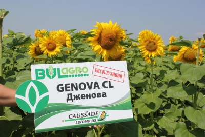 Clearfield sunflower JENOVA CL