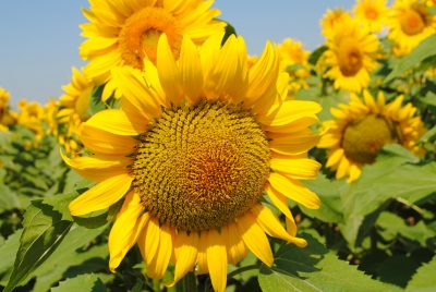SUNFLOWER HYBRIDS LG - Clearfield