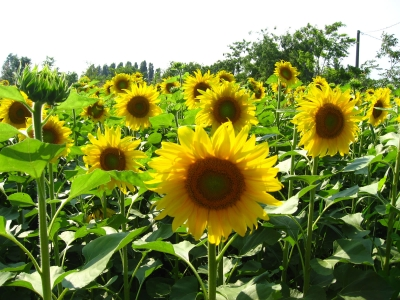 SUNFLOWER HYBRIDS PIONEER