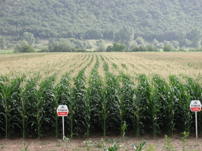 MAIZE HYBRIDS PIONEER