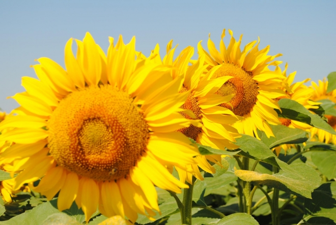 SUNFLOWER HYBRIDS LG - conventional